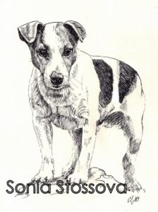Jack Russell Terrier_